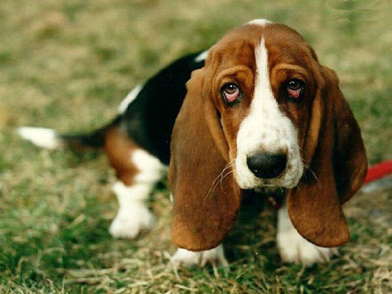 beau beagle