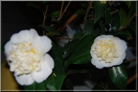 camelia 016b
