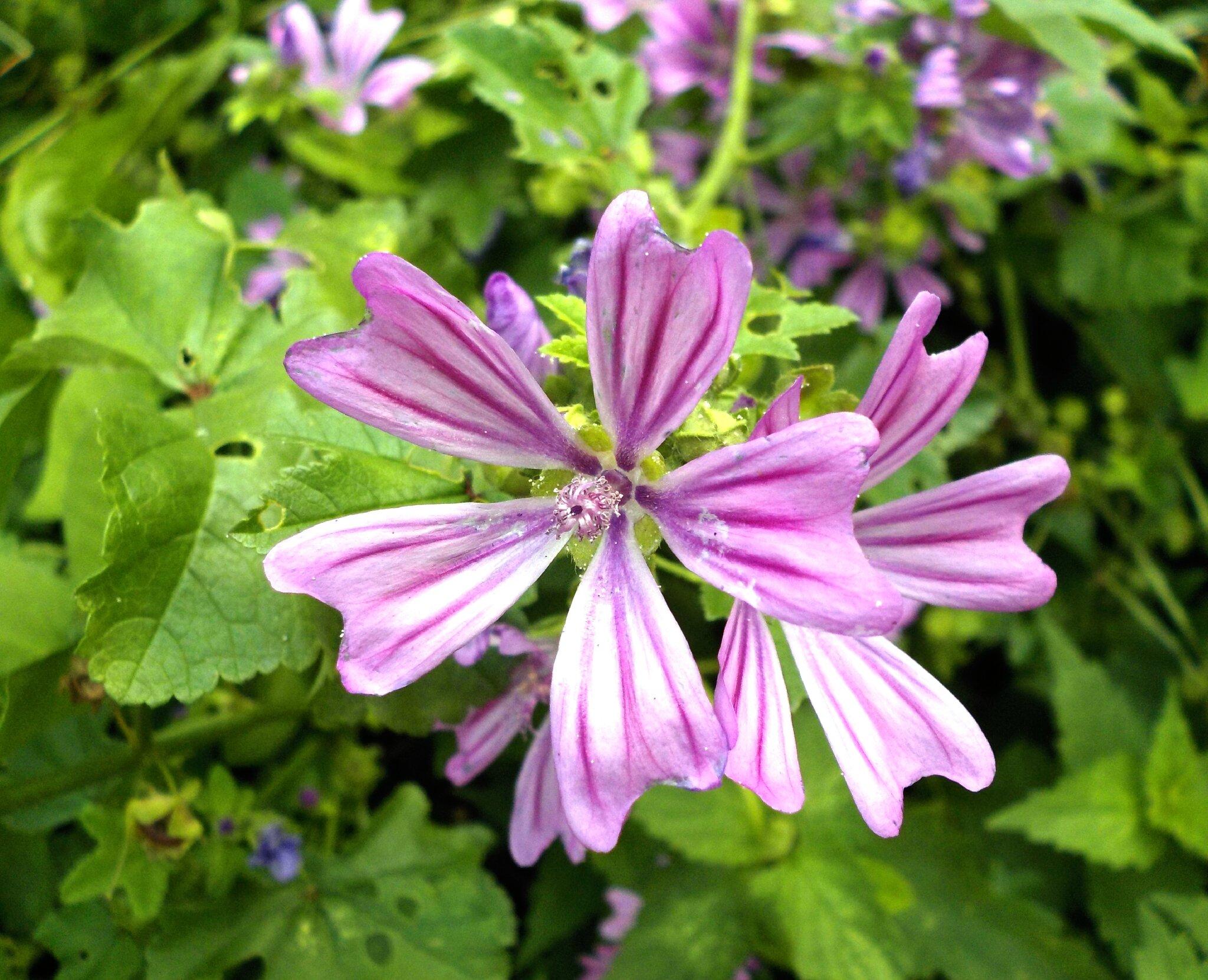Connu La mauve sylvestre (d'autres mauves) - Les plantes oubliées YD98