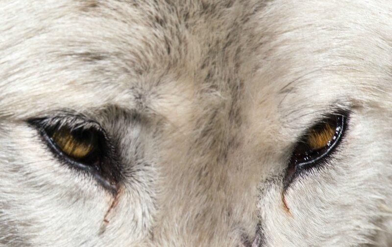 Loups-12