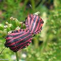 Pentatome rayé • Graphosoma lineatum in copula