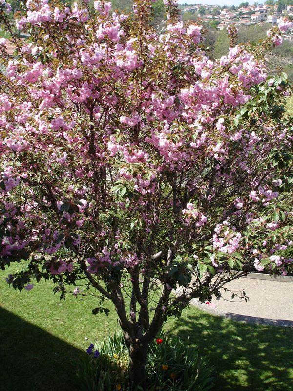Le cerisier d 39 ornement au printemps photo de album fleurs couleur gourmande - Greffe du cerisier au printemps ...