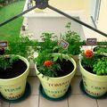 Mes premières tomates, mai 2008