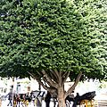 caleche sous un arbre