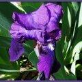 Iris bleu violet 0304152