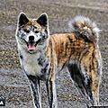 Le chien de race akita inu....