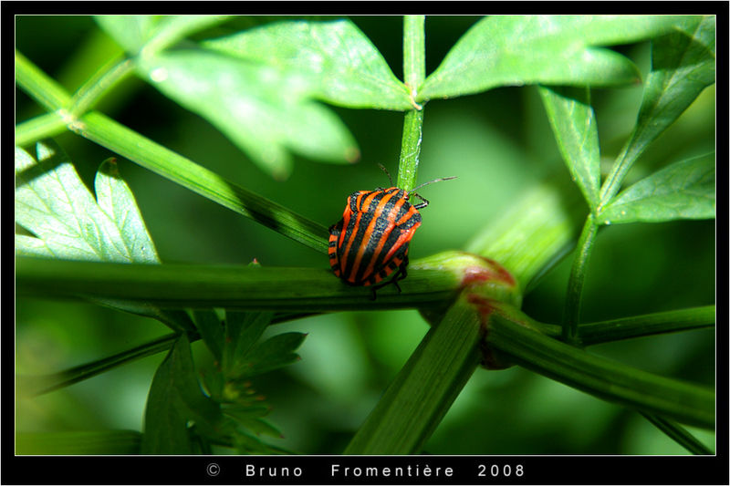 Graphosoma_Lineatum_1