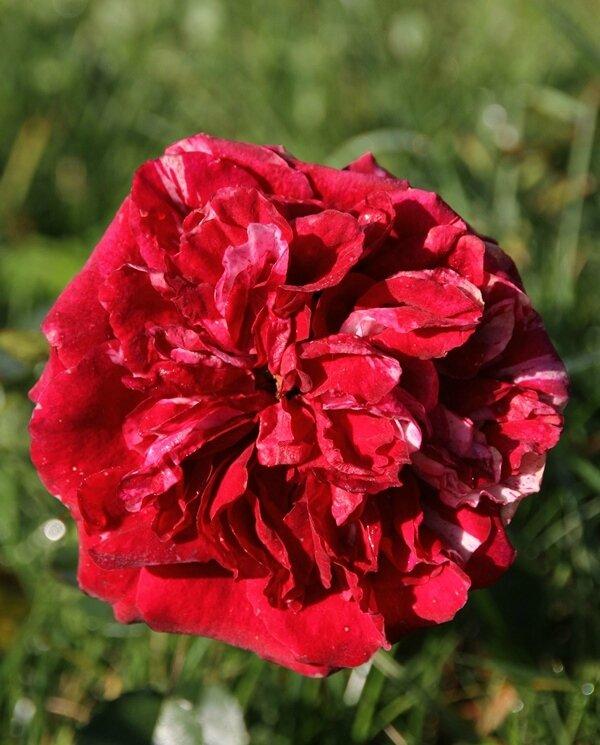 rose julio iglesias du bouton du 13 octobre