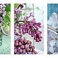 Lilas mauve violet blanc fleurs printemps