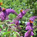 A papillons1379