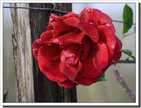 rose_rouge_hiver_051209