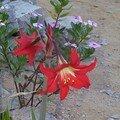 Hibiscus(?)