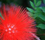 fleur_rouge