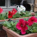 2009 05 25 Les pétinias en jardinière