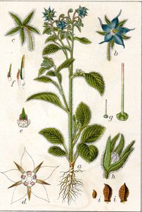 bourrache_officinale_005