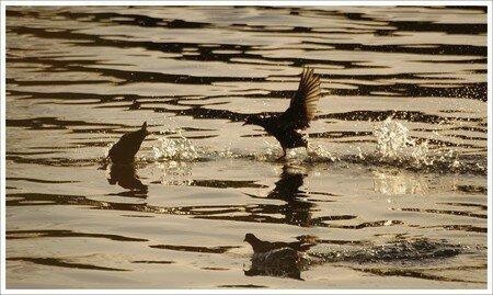 poules_eau_intimidation_gouttelettes_soir