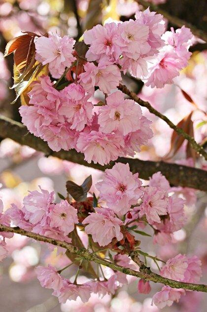 fleurs roses arbre