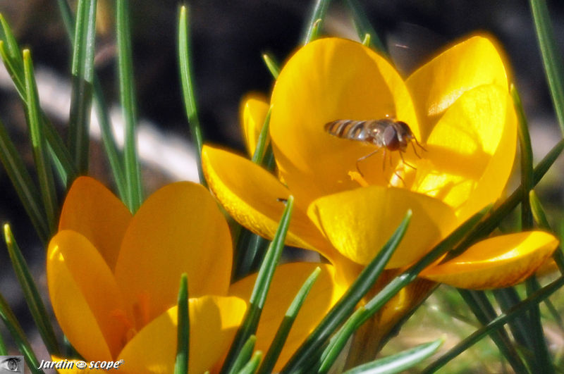 Premier syrphe de l'année au jardin (7/02/11)