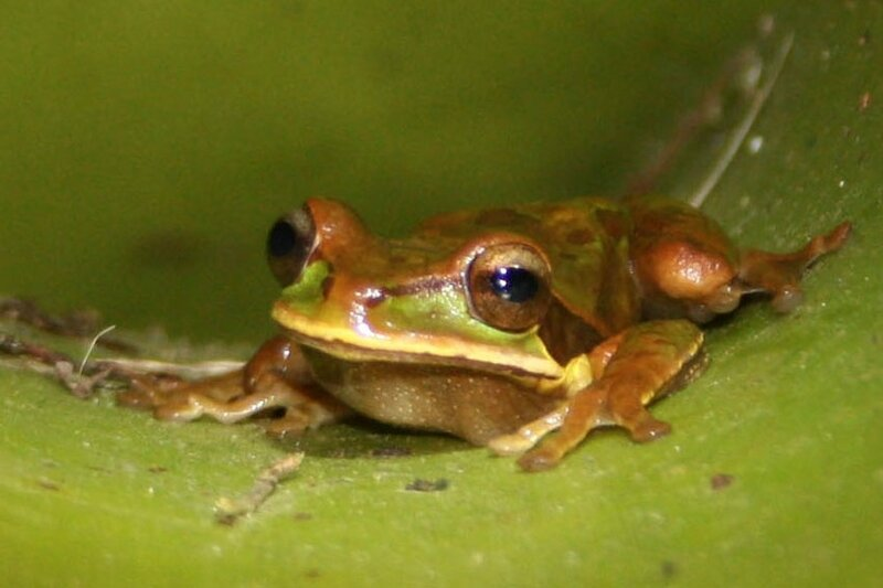 Masked_tree_frog_head