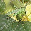 Joli Cricket (3)