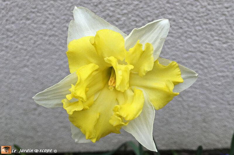 Narcisses à fleurs d'orchidée Belcanto