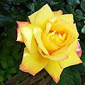 Rose 21051612