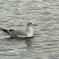 Mouette rieuse (immature)