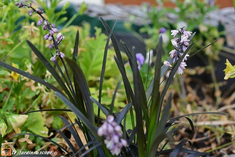 Ophiopogon-noir-2
