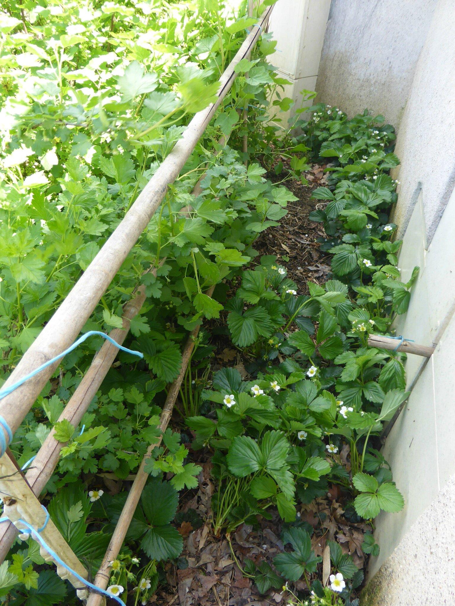 5-fraisiers (3)