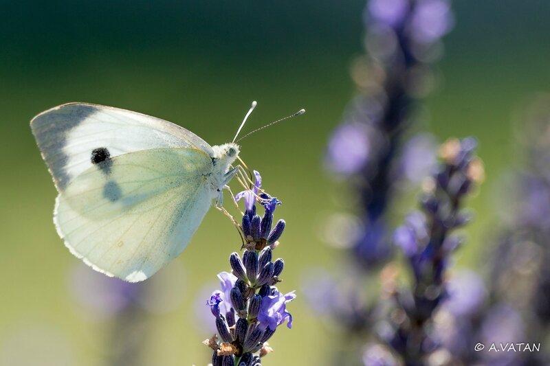 Papillon Napi-4542