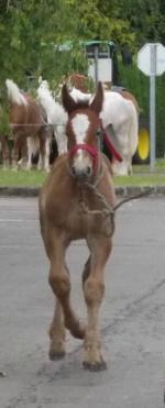 Fany du Boncoin - 18 Juin 2015 - Concours d'élevage local - Arneke