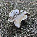 Cortinarius (1)