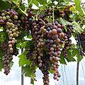 4-vignes, raisins (19)