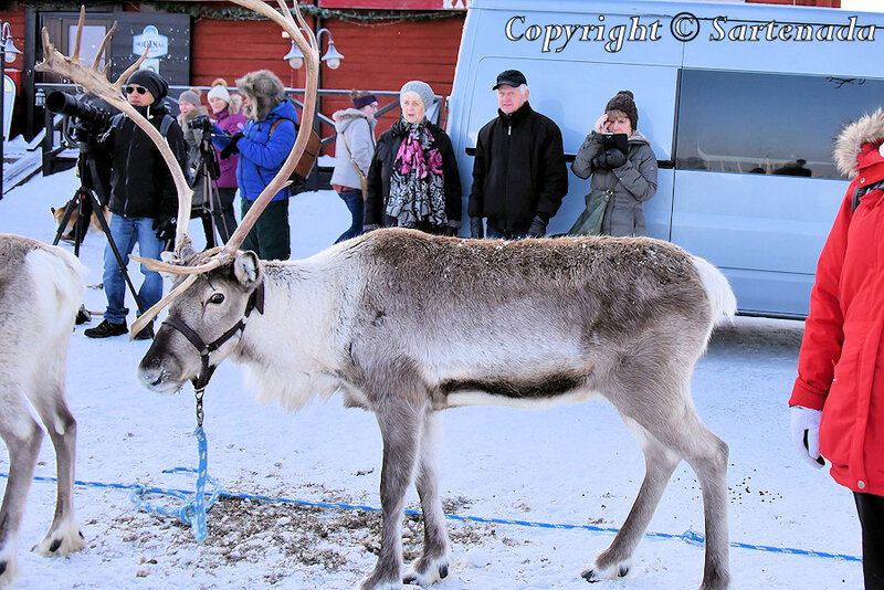reindeer_rides_for_families_oulu_-36