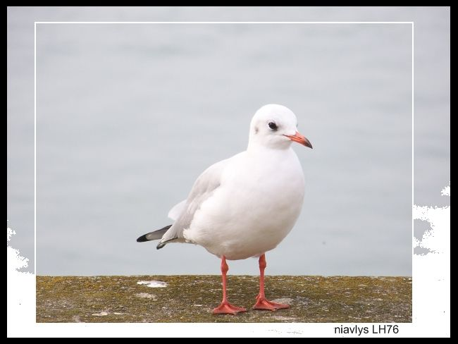 mouette rieuse 1 jpg