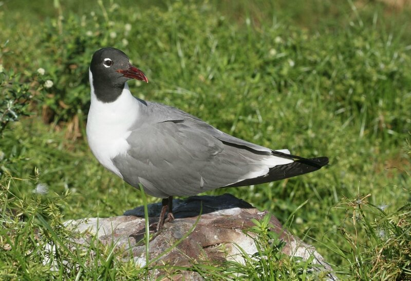 Mouette atricille_IMG_9864