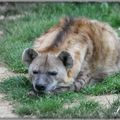 Hyène rayée (Hyaena hyaena)