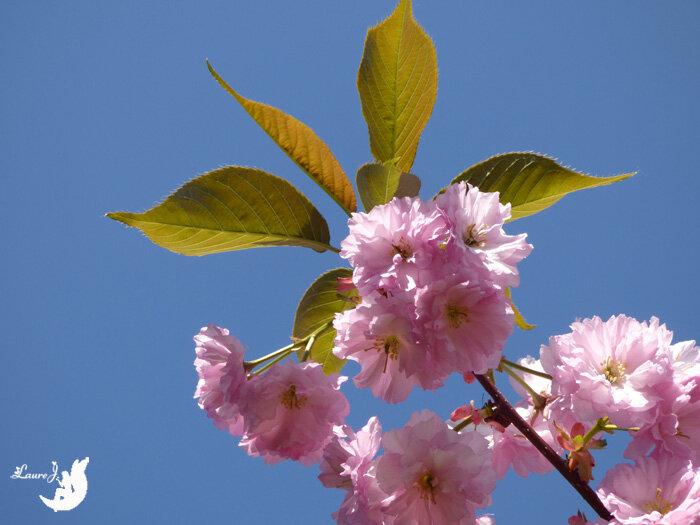cerisier du japon Kanzan 11