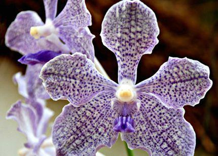 orchidee-aux-jardins-de-peradeniya