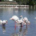 Flamants roses 04
