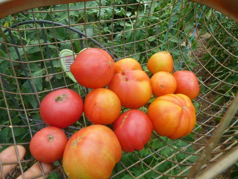 31-tomates (4)