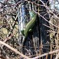 lézard vert