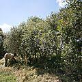 oliviers sur le site de l'église Mikaël Imba