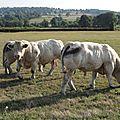 Taureaux reproducteurs charolais 2016