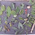 Récoltes de feuilles et de fruits de l`automne 2016