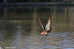 Canard-envol