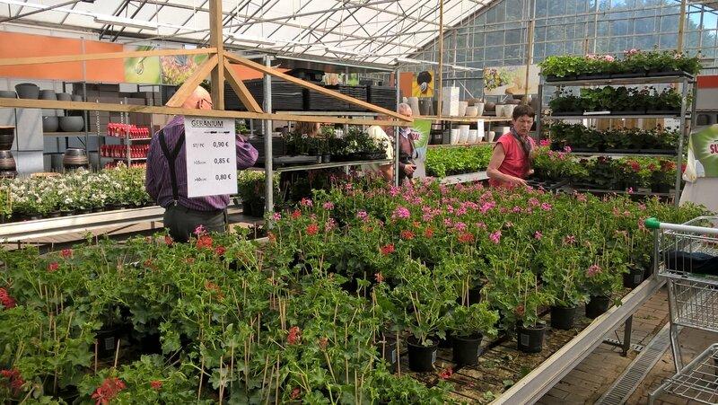 geraniums belges