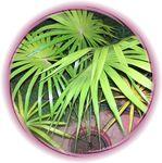 palmier Latanier vert