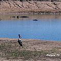 Jabiru d'afrique dans son milieu naturel