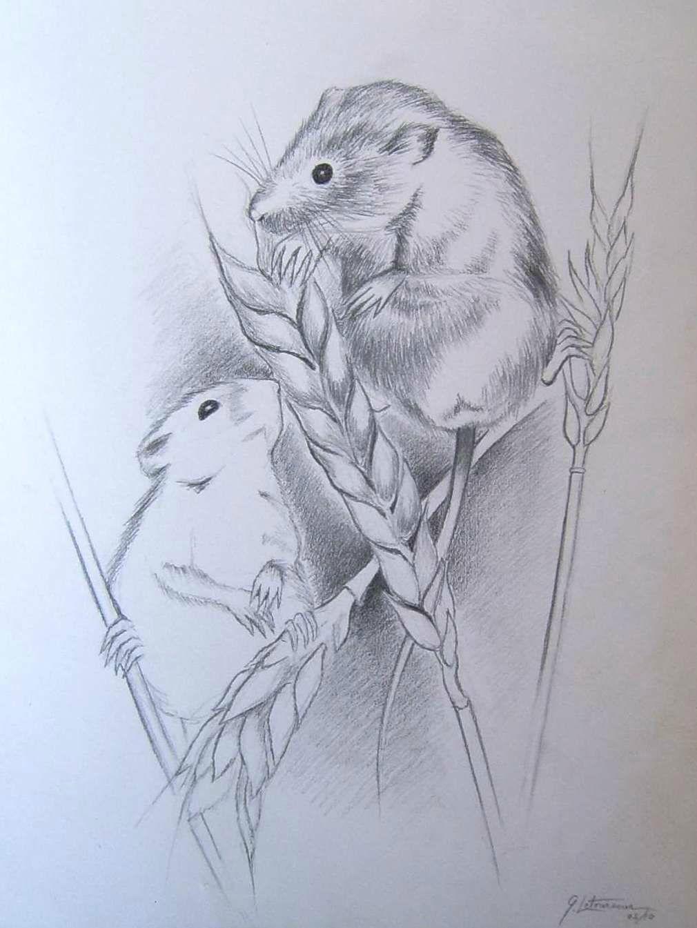 Dessin crayon rats des moissons dans champ de blé - Dessin animaux sauvages - Ghislaine Letourneur - Desenul a şobolanilor recoltele -